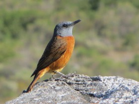 03 Cape-Rock-Thrush