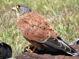 07 Rock-Kestrel