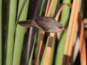 09-Common-Waxbill-