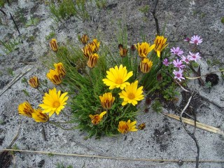 Daisies-after-the-fire-