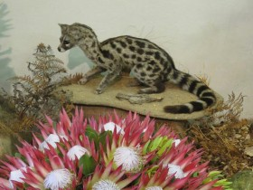 Genet-and-protea-3