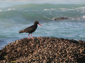 Black-Oystercatcher-
