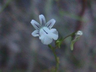 Nemesia diffusa var. diffusa
