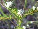 Phylica lasiocarpa
