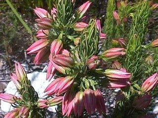 Erica plukenetii subsp. penicellata
