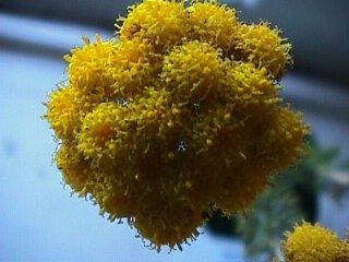 Athanasia trifurcata