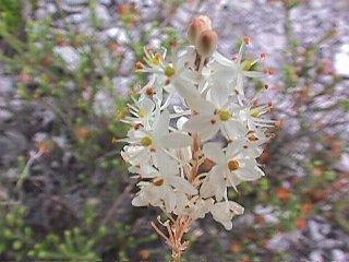 Bulbinella trinervis