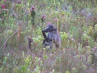 Chacma baboon, Bobbejaan