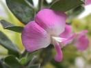 Podalyria myrtillifolia