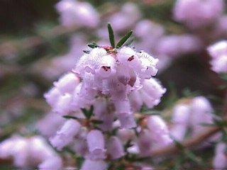 Erica parviflora var. parviflora