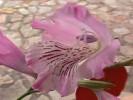 Gladiolus hirsutus