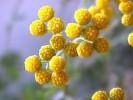 Hippia frutescens