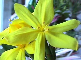 Bobartia longicyma subsp. magna