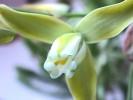 Albuca maxima