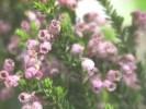 Erica brevifolia