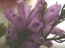Erica viscaria subsp. longifolia