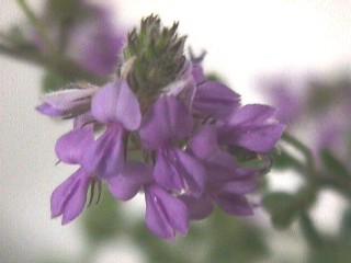 Indigofera alopecuroides var. alopecuroides