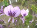 Pelargonium longicaule var. longicaule