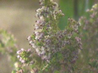 Erica hispidula var. hispidula