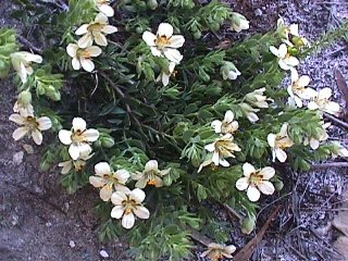 Zygophyllum sessilifolium