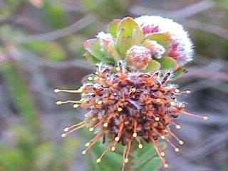 Leucospermum truncatulum