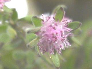 Diastella divaricata subsp. montana