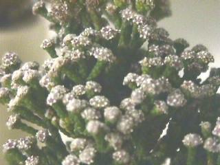 Brunia microphylla