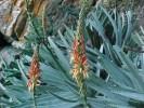 Aloe succotrina