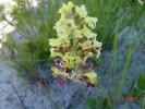 Tritoniopsis parviflora var. parviflora