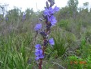 Aristea capitata