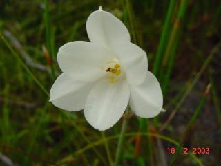 Cyrtanthus leucanthus