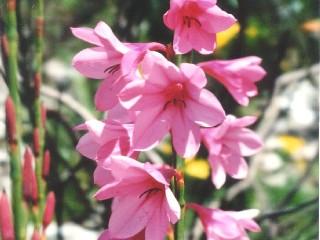 Watsonia borbonica