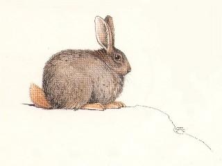 Hewitt's Red Rock rabbit