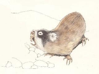 Cape Mole-rat