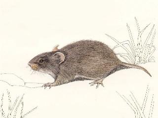 Saunder's Vlei rat