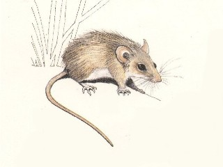 Cape Spiny mouse
