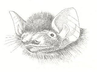 Cape Serotine bat.