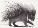 Cape porcupine.