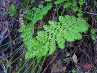 Mohria caffrorum