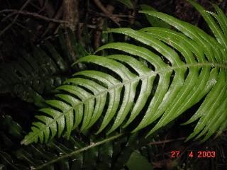 Blechnum attenuatum