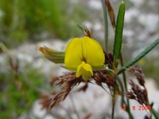 Rhynchosia chrysoscias