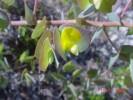Rafnia acuminata