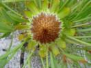 Protea angustata