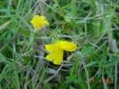 Monopsis lutea