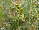Clutia alaternoides var. alaternoides
