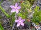 Chironia linoides subsp. nana
