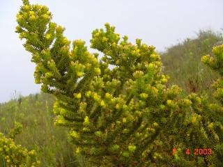 Aspalathus batodes subsp. batodes