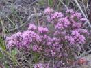 Amphithalea ericifolia subsp. ericifolia