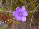 Thereianthus juncifolius