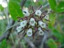 Cynanchum africanum